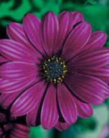 Остеоспермум FlowerPower® Purple Red 9